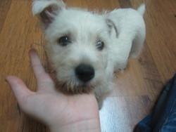 Hadesse, chien West Highland White Terrier