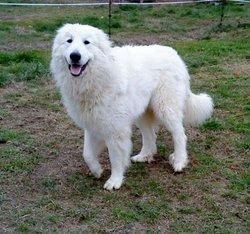 Hadiya, chien Chien de montagne des Pyrénées