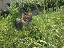 Hadiya, chat Gouttière