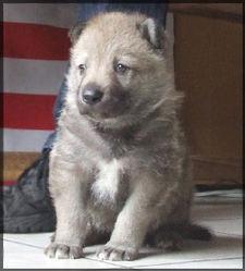 Hadji Partit Dans Un Monde Meilleur, chien Chien-loup de Saarloos