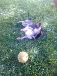 Hady, chien Berger allemand