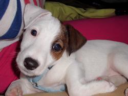 Hadzo, chien Jack Russell Terrier