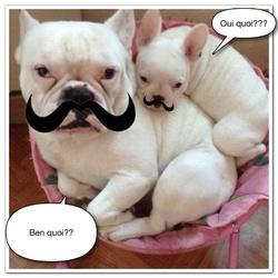 Haeley, chien Bouledogue français