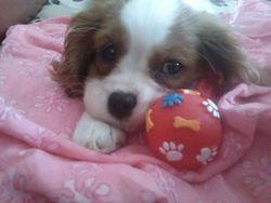 Hagate, chien Cavalier King Charles Spaniel