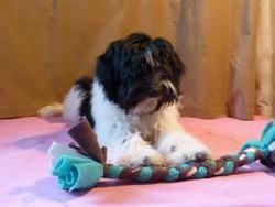 Haghia, chien Schapendoes néerlandais