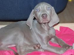 Hagripine, chien Braque de Weimar