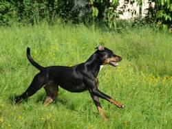 Hai Olly, chien Dobermann