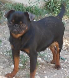 Haicha Cob De Sabres, chien Petit brabançon
