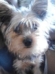 Haidy, chien Yorkshire Terrier