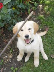 Haika, chien Golden Retriever