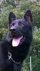 Haika, chien Berger allemand