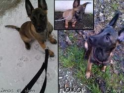 Haika, chien Berger belge