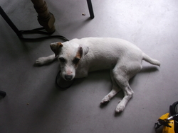 Haiko, chien Jack Russell Terrier