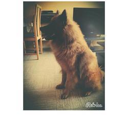 Haiko, chien Eurasier