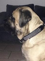 Haiko, chien Mastiff