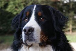 Haiko, chien Bouvier bernois