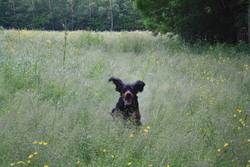 Haiko, chien Setter Gordon