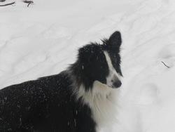 Haiko, chien Berger des Shetland