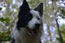 Haiko, chien Border Collie