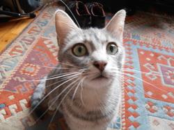 Haikou, chat Gouttière