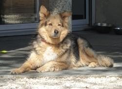 Haiku, chien Berger allemand