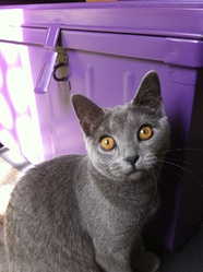Haiku, chat Chartreux