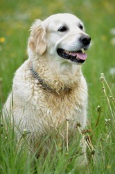 Haila, chien Golden Retriever