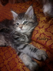 Hailey, chat Maine Coon
