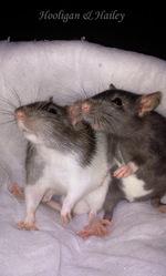 Hailey, rongeur Rat