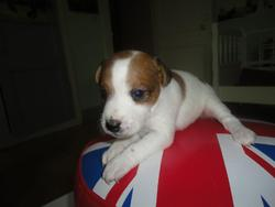 Hailly, chien Jack Russell Terrier