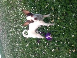 Haily, chien Chihuahua