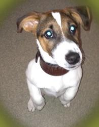 Hair N J, chien Jack Russell Terrier