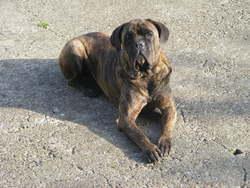 Haiser, chien Cane Corso