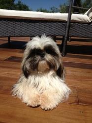 Haissai, chien Shih Tzu