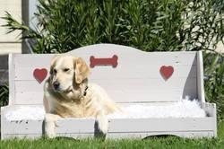 Haiti, chien Golden Retriever