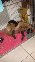 Haiti, chien Berger belge
