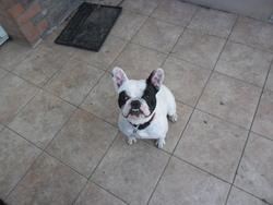 Haitika, chien Bouledogue français