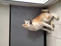 Haka, chien Akita Inu