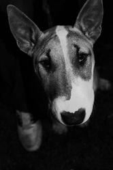 Haka, chien Bull Terrier