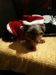 Hakau, chien Yorkshire Terrier