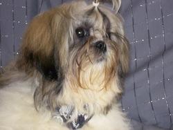 Hakéa, chien Shih Tzu