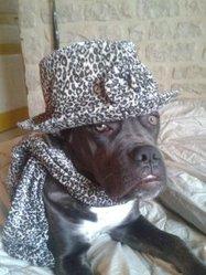 Hakira, chien Cane Corso