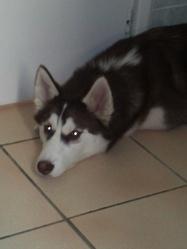 Hakira, chien Husky sibérien