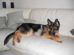 Hakira, chien Berger allemand