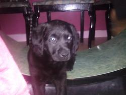 Haticka, chien Labrador Retriever