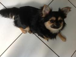 Hakka, chien Chihuahua