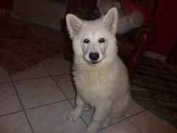 Hako, chien Berger blanc suisse