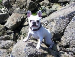 Hakoa, chien Bouledogue français