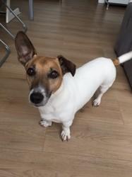 Haku, chien Jack Russell Terrier