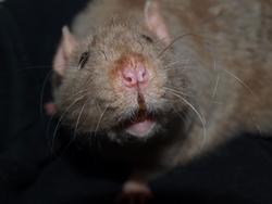 Haku Rip, rongeur Rat
